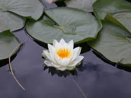 lotus-ipnosi-strategica